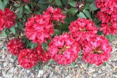 Rhododendron vermelho Foto de Stock Royalty Free