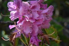 Rhododendron Maximum, the great laurel. Stock Photography