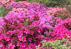 Rhododendron in voller Blüte mit hellen Rosa-, korallenroten und Magentarotenblumen Blühende Azaleenbüsche mit viel von Knospen u stockbilder