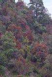 Rhododendron, waldige Anlagen in den Heidekrautgewächsen, Ericaceae, entweder immergrün oder laubwechselnd Mukteshwar, Uttarakhan stockfotos