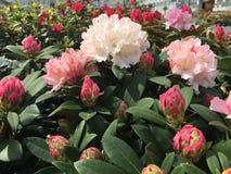 Rhododendron-Weihnachtsbeifall Stockbilder