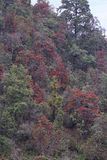 Rhododendron, woody plants in the heath family, Ericaceae, either evergreen or deciduous. Mukteshwar, Uttarakhand, India.  stock photos