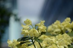 Rhododendron in yellow with architectural background bokeh Stock Photos