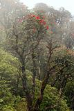 RhododendronArboreum blomning i mist Arkivbild