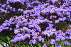 Rhododendronbaum Stockfoto