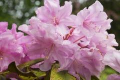 Rhododendronbaum in einem botanischen Garten Stockbilder