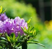 Rhododendronblomma Fotografering för Bildbyråer