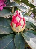 Rhododendronblomma Arkivbilder