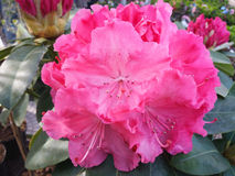 Rhododendronblomma Arkivfoto