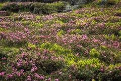 Rhododendronblommor Royaltyfri Fotografi