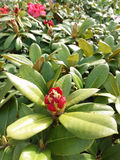 Rhododendronblommor Arkivbild
