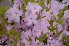 Rhododendronblomning Arkivbilder