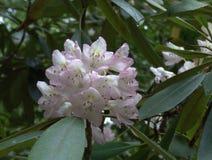Rhododendronblomning Royaltyfri Bild