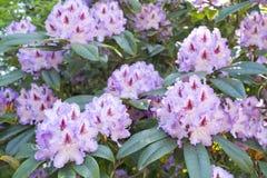 Rhododendronblomningar Royaltyfri Bild
