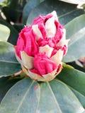 Rhododendronblume Stockbild