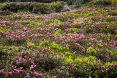 Rhododendronblumen Lizenzfreie Stockfotografie