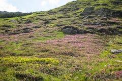 Rhododendronblumen Lizenzfreies Stockbild
