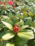 Rhododendronblumen Stockfotografie