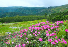 Rhododendronblumen im Sommerberg Lizenzfreie Stockbilder