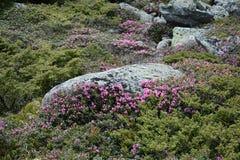 Rhododendroner i bergen Royaltyfri Fotografi