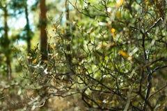 Rhododendronfilial i ljus - grön skog, closeup solljus suddighet bakgrund Royaltyfria Bilder