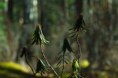 Rhododendronfilial i mörker - grön skog, slut upp solljus suddighet bakgrund Royaltyfri Bild