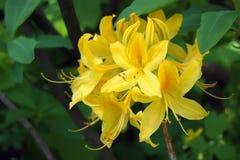 Rhododendronjapanguling Royaltyfri Fotografi