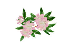 Rhododendronlatoucheae Royaltyfri Bild