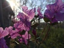 Rhododendronledebourii Altai Maralthai eller Siberian labrador i strålarna av inställningssolen arkivfoton