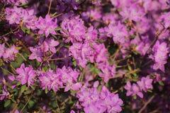 Rhododendronledebourii, en växt från familjericaceaen Royaltyfria Foton