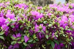 Rhododendronmucronulatum Arkivbilder