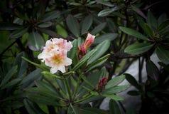 Rhododendronrosa auf dem Hintergrund von Blättern Stockfotos