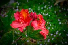Rhododendronrot auf dem Hintergrund von Blättern Lizenzfreies Stockfoto
