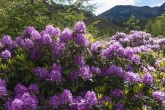 Rhododendrons και καληδονιακό πεύκο Fores στοκ φωτογραφίες με δικαίωμα ελεύθερης χρήσης