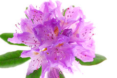 Rhododendrons Royalty Free Stock Photography