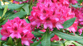 rhododendrons Arkivfoton