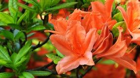 rhododendrons Royaltyfria Foton