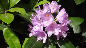 rhododendrons Royaltyfri Bild