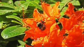 rhododendrons Royaltyfri Fotografi