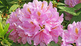 rhododendrons Royaltyfria Bilder