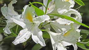 rhododendrons Royaltyfri Foto