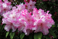 rhododendrons Images stock