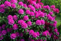 rhododendrons στοκ φωτογραφία με δικαίωμα ελεύθερης χρήσης