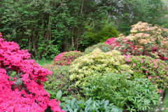 Rhododendrons and azaleas display their springtime colours Stock Image