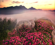 Rhododendrons, beautiful alpine flowers Stock Photo