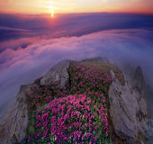 Rhododendrons, beautiful alpine flowers Stock Images