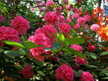 Rhododendrons. Beautiful rhododendrons in spring forest stock image