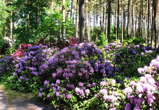 Rhododendrons. Beautiful rhododendrons in spring forest stock photo