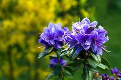 Rhododendrons begin to bloom Royalty Free Stock Images