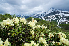 Rhododendrons bloom Stock Images